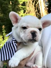 Super Cute Male and Female French Bulldog Puppies Ready For New Home