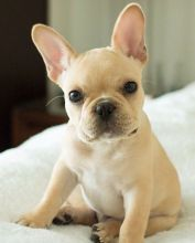 Two Beautiful French Bulldog Puppies For Re-Homing