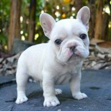 Well Socialized male and female French Bulldog puppies available.
