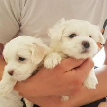 Lovely Purebred Teacup Maltese Puppies for Adoption