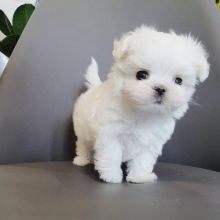 Lovely White Teacup Maltese Puppies Available