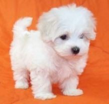 Two Amazing Snow white Teacup Maltese puppies available