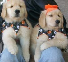 Two Lovely Golden Retriever Puppies for Pet Lovers