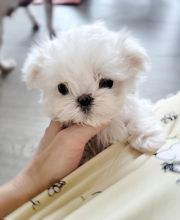 Very Friendly Teacup Maltese Puppies Ready For Adoption