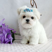 Well Trained White Teacup Maltese Puppies Avaliable.
