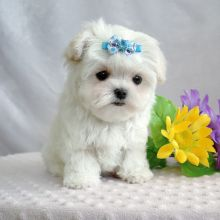 Wonderful male and female Teacup Maltese puppies Available