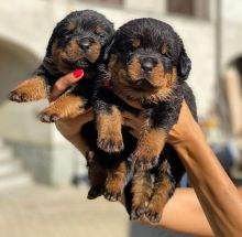 Free adoption of cute Rottweiler puppies