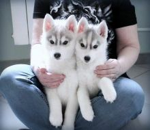 Free adoption of this adorable husky puppies