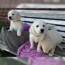 free adoption of adorable Golden retriever puppies