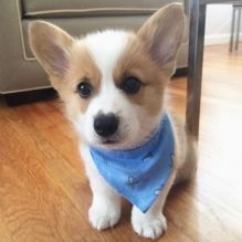 Cute and adorable Welsh corgi puppies ready for adoption Image eClassifieds4U