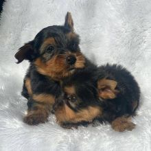 Yorky puppies for adoption