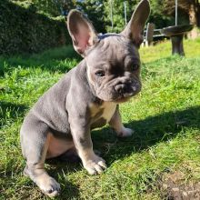 Amazing French Bulldog Puppies Ready Now