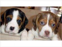 Male and female Beagle puppies now ready For Adoption