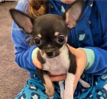 Energetic Ckc Chihuahua Puppies Available