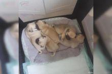 11 Months CKC Pug Puppies