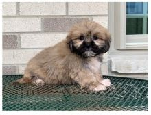 Cute Lhasa Apso Puppies for Re-homing