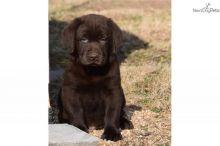 Fantastic Ckc Labrador Retriever Puppies Available