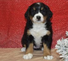 Quality Bernes Mountain Puppies