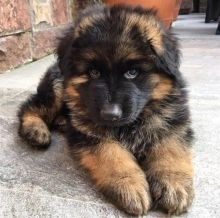 Two Top Class German Shepherd Puppies Available