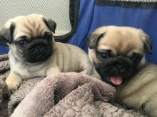 100% Health Tested Pug Puppies