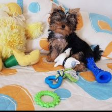 Marvelous Yorkie Puppies Available . EMAIL andreas12201@gmail.com