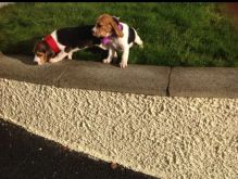 Beautiful Beagle Boy And girl Looking For Forever Home