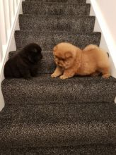 Chow Chows Looking For Their New Families