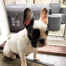 Healthy French Bulldog Puppies For Re Homing