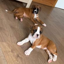 Stunning Kc Registered Boxer Puppies