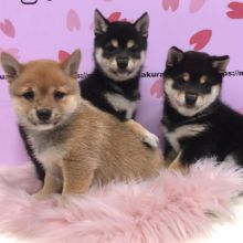 Adorable Shiba Inu Puppies available for affordable Homes