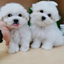 Male and Female Registered Maltese Puppies for rehoming