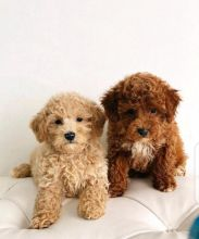 Stunning Toy Poodle Babies