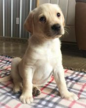 Labrador Puppies Looking For Their Forever Home(marieanny0@gmail.com)