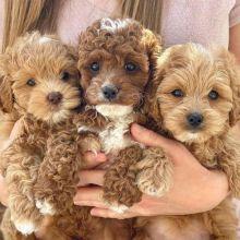 pretty Cavapoo puppies for free adoption(jakeharriies@gmail.com)
