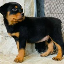 Rottweiler Puppies Available For Adoption (brendenstacy1@gmail.com)