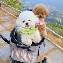 sweet Bichon frise puppies ready for a new home ((katielocke343@gmail.com)