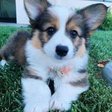 Two Pembroke Welsh Corgi Puppies For Rehoming (vincenzohome88@gmail.com)