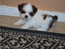 Quality CKC registered male and female Shih Tzu puppies.