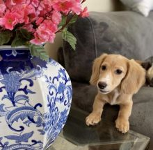 Cute Lovely Dachshund Puppies male and female for adoption Image eClassifieds4U