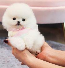 Champion pomeranian Puppies
