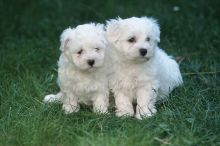 Apple-Head Maltese Puppies