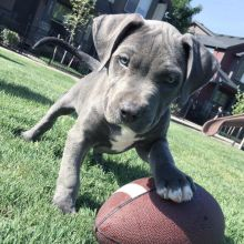 Blue Nose Pit Bull puppies,well socialized and vaccinated.