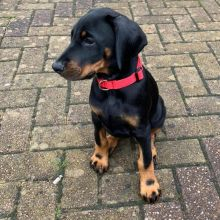 Dobermann Puppies - Updated On All Shots Available For Rehoming