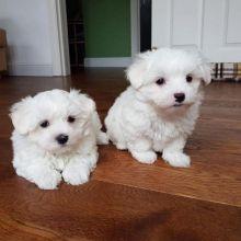 Maltese Puppies Seeking new homes