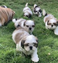Lovely Shih Tzu puppies for Adoption