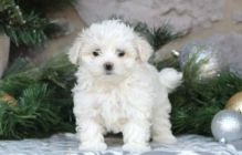 Charming Male and Female Teacup Maltese Pups