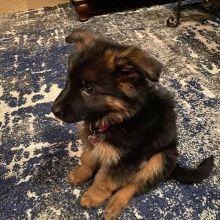 Great German shepherd puppies for re-homing