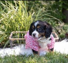 Top quality male and female Mini bernese puppies for free adoption