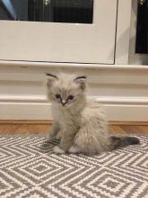 Lovable Ragdoll Kittens For Adoption