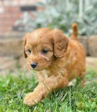 Lovely Cute Cavapoo Puppies For Adoption